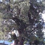 Riesenbaum in Pokhara