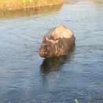 Rhino im Fluss