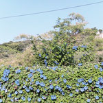 Korsika - in Blütenpracht