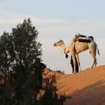Kamel in den Dünen