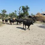 Wasserbüffel am Wegesrand