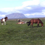 Islandpferde