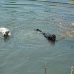 Auch Newtiii ging schwimmen ...immer dabei Zazou
