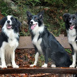 Die 3 Border Collies Bill, Peggy und Bo