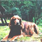 Benji unser zweiter Hund eine Setter Mischling Hündin