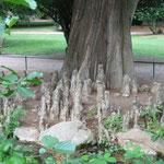 Mangrovenbaum am Teich hinter dem Schloss