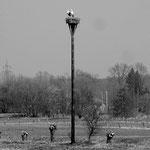 Horst eines der Storchenpaare im Bingenheimer Ried