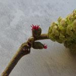 Die weiblichen Blüten sind noch nicht vollständig entwickelt