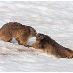 Marmotte sul monte Altissimo