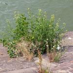 Tanacetum vulgare, Rainfarn Bereich A Hafen,  Aufnahme-Datum: n.b.