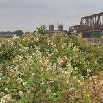 Rubus fruticosus, Brombeere, Bereich A Hafen,  Aufnahme-Datum: 12.03.2019