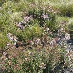 Saponaria officinalis, Bereich  D  Aufnahme-Datum: n.b.