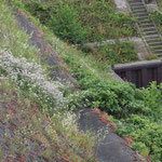 Coronilla varia, Sedum album, Fraxinus excelsior, Hieracium aurantiacum, Rumex thyrsiflorus, Rosa rugosa, Bereich A Hafenmauer,  Aufnahme-Datum: 19.06.2010