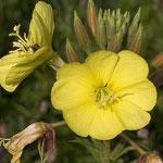 Oenothera spec., Nachtkerze, Bereich D Rheinaue,   Aufnahme-Datum: 13.07.2008