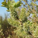Salix caprea, Salweide, Salweide, Bereich A Hafen, Aufnahme-Datum: n.b.