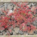 Geranium robertianum, Stinkender Storchschnabel, Bereich C Brücke,  Aufnahme-Datum: 21.06.2015