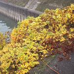 Rosa rugosa, Kartoffelrose in Herbstfärbung, Bereich A Hafen, Aufnahme-Datum. n.b.