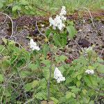 Syringa vulgaris Hybr. Flieder-Sorte Mme. Lemoine, Bereich A Hafen, Aufnahme-Datum: 10.05.2019