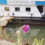 Carduus nutans, Nickende Distel, Bereich A Hafen,  Aufnahme-Datum: 19. 06. 2010