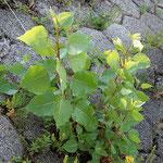 Populus canadensis, Bastardpappel, Bereich A Hafen, Aufnahme-Datum: 03.05.2009