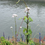 Valeriana officinalis , Arznei-Baldrian, Bereich A,   Aufnahme-Datum: 21.06.2015