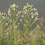 Cirsium arvense, (Weisse Mutation) Acker-Kratzdistel, Bereich D Rheinaue,  Aufnahme-Datum: n.b.