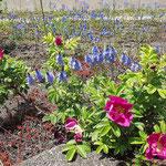 Rosa rugosa, Kartoffelrose, Bereich A Hafen, Aufnahme-Datum: 03.05.2009