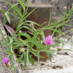 Centaurea scabiosa, Scabiosen-Flockenblume, Bereich A Hafen,  Aufnahme-Datum:21.06.2015