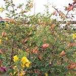 Caragana arborescens, Gewöhnlicher Erbsenstrauch, Samenstände und Blüten, Bereich B Gelände, Aufnahme-Datum: 21.06.2015