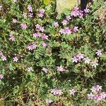 Erodium cicutarium, Gewöhnlicer Reiherschnabel, Bereich B Gelände,  Aufnahme-Datum: n.b.