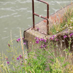 Centaurea scabiosa, Scabiosen-Flocken-Blume, Bereich A  Hafen,  Aufnahme-Datum: 21.06.2015