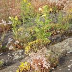 Sedum acre, Sedum album, Oenonthera spec, Hypericum perforatum, Petrorhagia prolifera, Bereich A  Hafenmauer,   Aufnahme-Datum: 19.06.2010