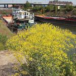 Isatis tinctoria, Färberwaid in der Blüte, Bereich A Hafen,    Aufnahme-Datum: n.b