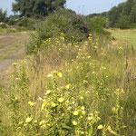 Oenonthera spec, Budleja davidii, Bereich D Rheinaue,  Aufnahme-Datum: n.b.