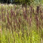 Calamagrostis epigejos, Land-Reitgras, Bereich D Rheinaue,  Aufnahme-Datum: 20.07.2009