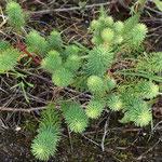 Euphorbia cyparissias, Zypressenwolfsmilch,  Bereich D Rheinaue,   Aufnahme-Datum: n.b.