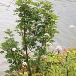 Valeriana officinalis, Arznei-Baldrian Bereich A Hafen,  Aufnahme-Datum: 21.06.2015