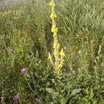Artemisia vulgaris, Verbascum phlomoides, Carduus acanthoides, Chenopodium album, Bereich D Rheinaue,   Aufnahme-Datum: n.b.
