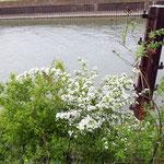Crataegus monogyna, Bereich A Hafen, Aufnahme-Datum: 27.04.2019