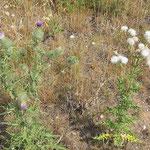 Cirsium vulgare, Gewöhnliche Kratzdistel, Cirsium arvense, (Ackerkratzdistel), Bereich  D Rheinaue   Aufnahme-Datum: