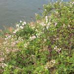Rubus fruticosus, Brombeere, Bereich A Hafen, Aufnahme-Datum: 21.06.2015