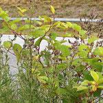 Reynoutria japonica, Isats tinctoria, Bereich A Hafen,   Aufnahme-Datum: n.b.