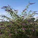 Buddleja davidii, Schmetterlingsflieder, Blütenstand, Bereich D Rheinaue, Aufnahme-Datum: 13.07.2008