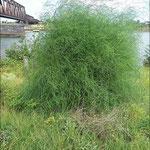 Asparagus officinalis, Gemüsespargel, Bereich D,  m. frdl. Genehmigung von D. Beckmann, Aufnahme-Datum: Juli 2019
