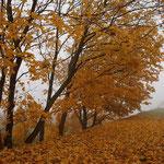 Acer pseudoplatanus, Bergahorn im Herbstaspekt, Bereich B Gelände, Aufnahme-Datum: Oktober 2006