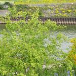 Cornus sanguinea, Roter Hartriegel, Bereich A Hafen, Aufnahme-Datum: 10.05.2019