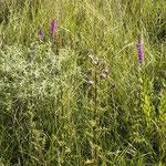 Lythrum salicaria, Cirsium arvense, Bereich D Rheinaue,  Aufnahme-Datum: n.b.