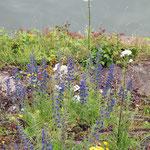 Echium vulgare, Gewöhnlicher Natternkopf, Bereich B Gelände,  Aufnahme-Datum: 01.06.2008