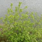 Prunus serotina, Späte Traubenkirsche, Bereich A Hafen, Aufnahme-Datum: 10.05.2019
