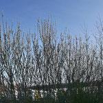 Salix ????, Weide, Bereich A Hafen, Aufnahme-Datum: 23.02.2019